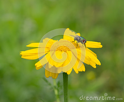 Fly with yellow daisy