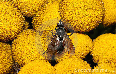 Fly on yellow flower