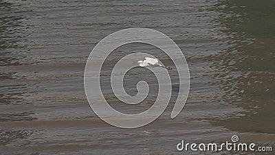 Flyg för liten ägretthäger över Huangpu River i solig dag, fågel som glider över vatten och landar på flodbanken, snabb film