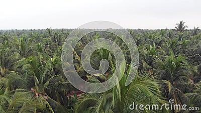 Flyg- sikt av kokosnötpalmträd från surret i det lantliga indiska kokosnötkolonispåret, Kerala lager videofilmer