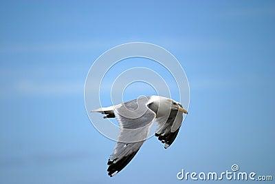 Flygseagull