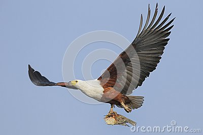 Flying African Fish Eagle with fish