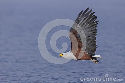 Flying African Fish Eagle over water