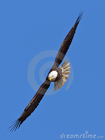 Free Flying Bald Eagle Stock Photography - 22845092