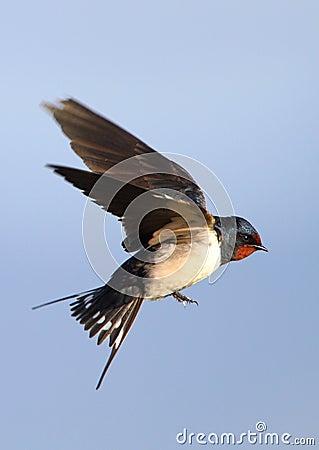 Free Flying Barn Swallow Stock Photo - 13408420