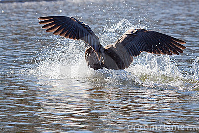 Flying bird landing in water