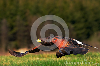 Flying bird of prey, Harris Hawk, Parabuteo unicinctus, landing. Bird in the nature habitat. Action wildlife scene from nature. Bi Stock Photo