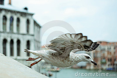 Flying bird in venice