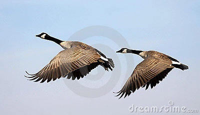Flying Canada Geese
