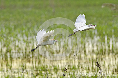 Flying cattle egrets
