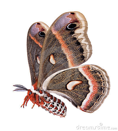 Flying Cecropia moth isolated on white