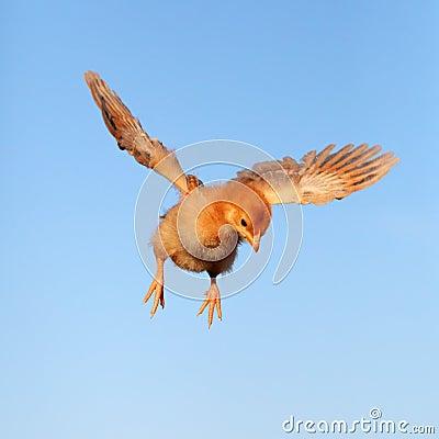 Flying chicken.