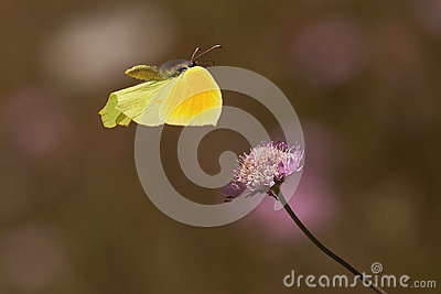 Flying cleopatra butterfly