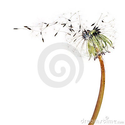 Free Flying Dandelion Seeds Stock Image - 5344241