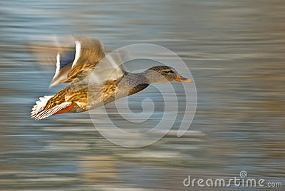 Flying duck (Anas platyrhynchos)