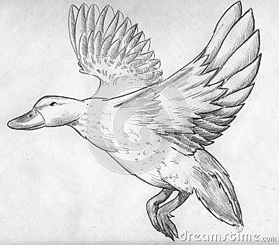Flying duck sketch