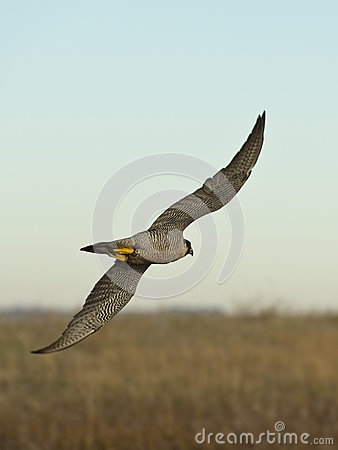 Free Flying Falcon Royalty Free Stock Photography - 35547067