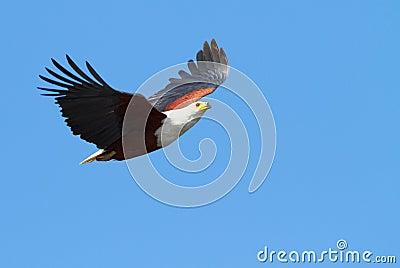 Flying Fish Eagle