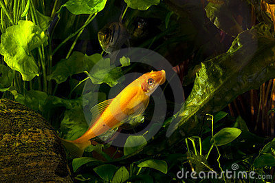Flying Fox Fresh-water Aquarium Fish Royalty Free Stock Images - Image ...