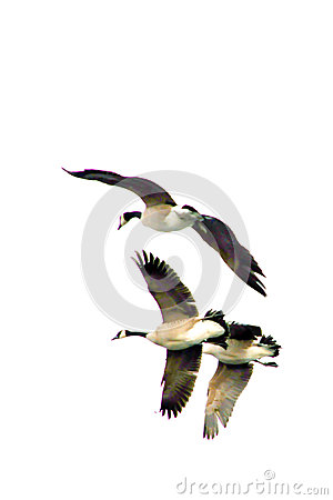 Free Flying Geese 2 Stock Images - 48412374