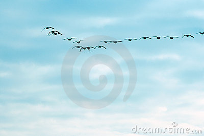 Flying geese against the blue sky