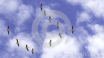 Flying wild geese