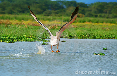 Flying great white pelican
