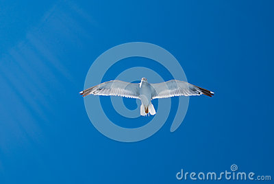 Flying gull and sun rays