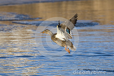 Flying Hen Mallard
