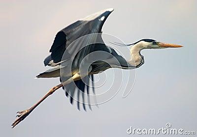 Flying heron bird