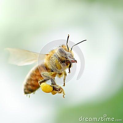 Free Flying Honey Bee Stock Photography - 39832592