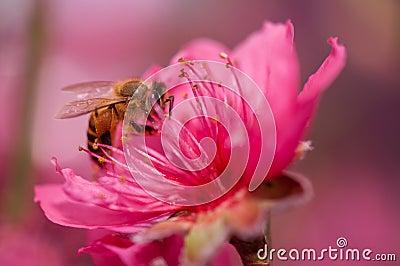 Flying honeybee