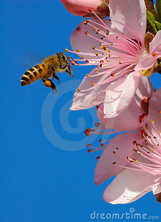 Free Flying Honeybee Royalty Free Stock Images - 8769359
