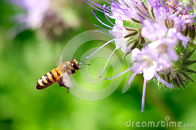 Flying honeybee near purple flower