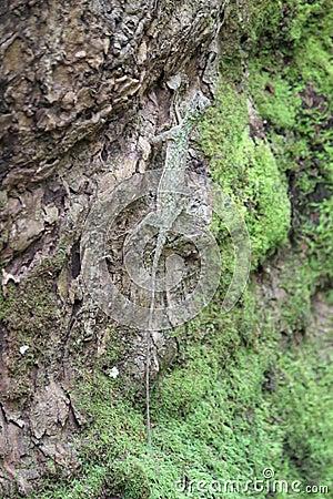 Flying Lizard on a tree trunk