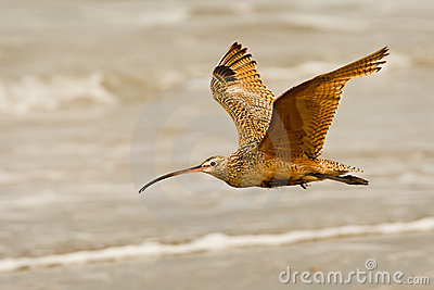 Flying Long Billed Curlew