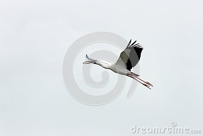A flying Openbill stork