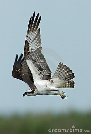 Free Flying Osprey Royalty Free Stock Photography - 14634157