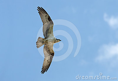 Flying Osprey with wings spread