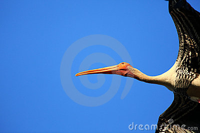 Flying painted stork