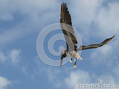 Flying pelican.