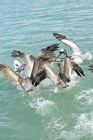 Free Flying Pelicans Vertical Stock Photography - 13674822