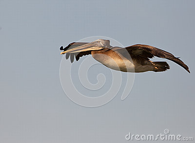 Flying Peruvian Pelican