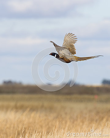 Free Flying Pheasant Royalty Free Stock Images - 27660909