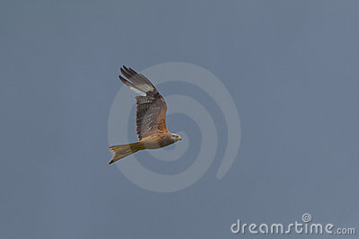 Flying red kite, bird of prey