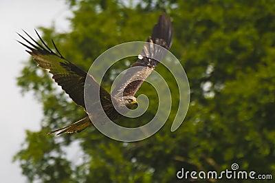 Flying red kite, bird of prey