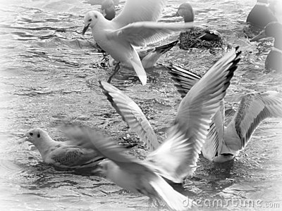 Flying sea-gull in black and white