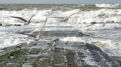 Flying sea-gulls and wild sea