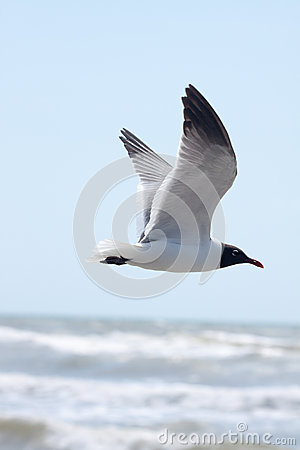 Free Flying Seagull Royalty Free Stock Photos - 41076368