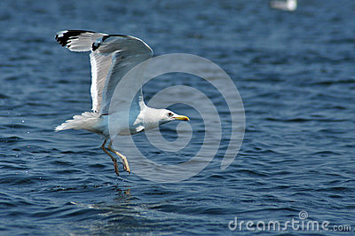Flying seagull in the Danube delta